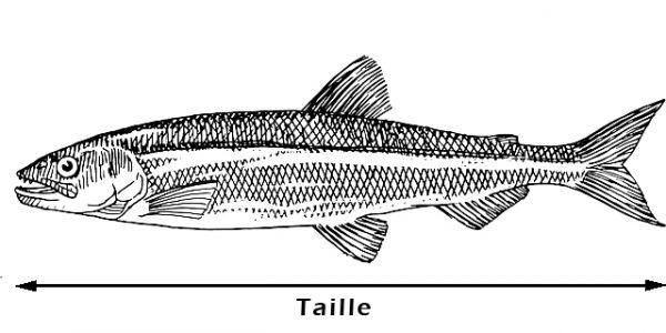 Taille poisson